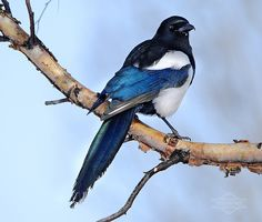 Magpie. not my photo