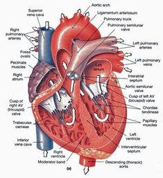 Heart anatomy and physiology: heart chambers and valves, heart vessels. Where they're located, what they do and how they work. Human Body Anatomy, Human Anatomy And Physiology, Muscle Anatomy, Human Anatomy Picture, Cardiac Anatomy, Medical Anatomy, Heart Diagram, Medical Drawings, Nursing School Prerequisites