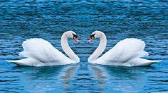Mute swan Computer Wallpapers Desktop Backgrounds x