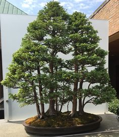 "bonsaiexperiment: ""Boulevard Sawara False Cypress bonsai, Chamaecyparis pisifera 'Boulevard' Forest style Chicago Botanic Garden """