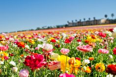 ResorTime.com's photo of the day! The @VisitCarlsbad Flower Fields in full bloom!  #flowerfields #family #travel book a place near at: http://www.resortime.com/attractions/carlsbad-ca-california.aspx