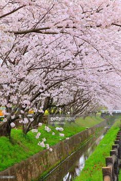 Stock Photo : Cherry blossoms