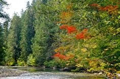 Silver Falls Loop trail goes along the Ohanapecosh River -bylynneh