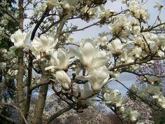 Yulan Magnolia - Magnolia Denudata