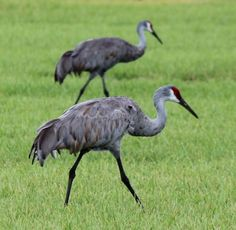 Sandhill Cranes feeding in pairs in central Florida.