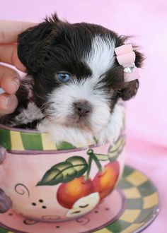 Shih Tzu puppy by TeaCups, Puppies & Boutique   www.TeaCupsPuppies.com