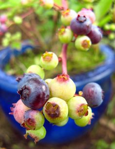Dwarf Blueberry Varieties Good for Container Gardening