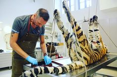 Our taxidermist Christophe Demey has started working on Yessie, the female Siberian tiger from @zooantwerpen who died in 2015.