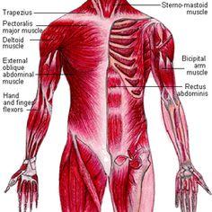 pin by sam ganados on skeletal and muscular anatomy | pinterest, Cephalic Vein