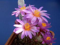 Mammillaria saboae ssp goldii