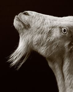 These Portraits Prove That Goats And Sheep Are Actually Human Hipsters - World's largest collection of cat memes and other animals Farm Animals, Animals And Pets, Cute Animals, Wild Animals, Wildlife Photography, Animal Photography, White Photography, Cabras Animal, Goat Art