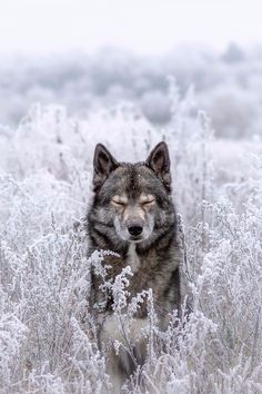 Wolf look alike Siberian Husky Mainz, Germany Nature Animals, Animals And Pets, Baby Animals, Cute Animals, Animals In Snow, Wild Animals, Funny Animals, Wolf Love, Wolf Pictures