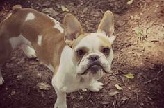 Thunder, the French Bulldog, what a face ; }