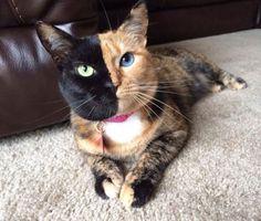 Un gato con cara en dos colores