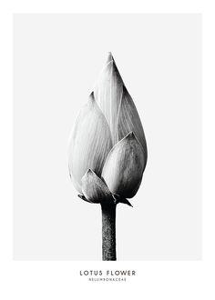 Fleur de lotus, affiche dans le groupe Affiches chez Desenio AB (7936)