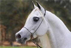 Beautiful Arabian!!!!!! By Ahmed Ahw flickr