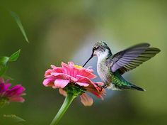 Ruby Throated Hummingbird perched and feeding on a pink zinnia flower in summer garden. 8x10 Hummingbird photography print, professional grade