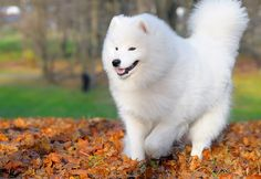 samoyed dog photo | Samoyed The Sledding Dog