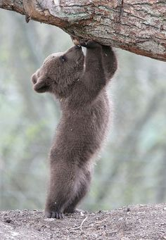 Brown Bear cub #wild #animal #forest #meadow #woodland #cute #outdoors #wilderness #creatures #bear #baby