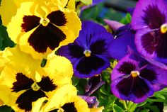 Pansies Every spring, the violet, indigo, and yellow color combination catches my eye