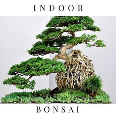 Bonsai Tree Ideas A Guide To Bonsai Trees For Beginners Bonsai Tree Ideas. The art form of bonsai can be a wonderful and unique hobby. Viewing and taking good care of a bonsai collection can be a r… Ikebana, Plantas Bonsai, Bonsai Tree Care, Bonsai Styles, Miniature Trees, Bonsai Garden, Succulents Garden, Growing Tree, Small Trees