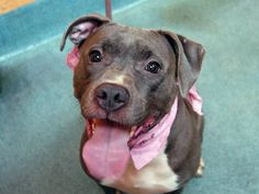 TO BE DESTROYED - 11/04/14 Brooklyn Center   My name is DIAMOND. My Animal ID # is A1015882. I am a female gray and white pit bull mix. The shelter thinks I am about 3 YEARS old.  I came in the shelter as a STRAY on 09/30/2014 from NY 11234, owner surrender reason stated was BITEPEOPLE. I came in with Group/Litter #K14-196349.