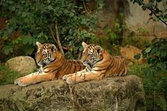 Siberian tiger cubs at the Leipzig Zoo in Germany