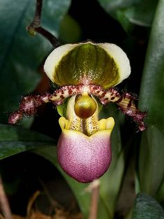 Paphiopedilum liemianum - Flickr - Photo Sharing!