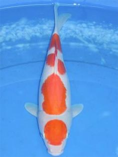Maruten Kohaku - white koi with self-contained red head marking plus red elsewhere on the body