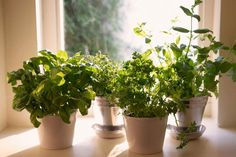 5 Herbs that Thrive Inside. Select herbs that can withstand low light of the winter sun and temperature fluctuations that they may experience on a kitchen..