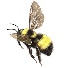 bumblebee sam droege - Sök på Google
