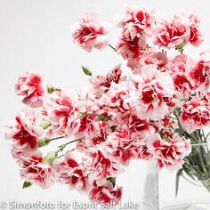 """Scarlet Plus"" pink white bi-color mini carnation"