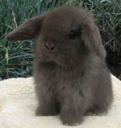 My favorite- mini lop bunny
