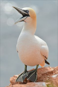 Northern Gannets (Morus spp) are large black and white seabirds with yellow heads; long, pointed wings; and long bills.