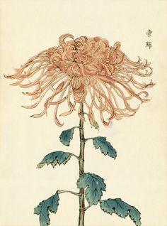 Chrysanthemum, Keika Hasegawa
