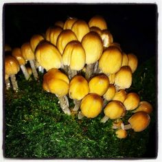 A rather dramatic image capturing Glistening Inkcap mushrooms by Mark Leah at Fullwood Spinney at the end of August 2014