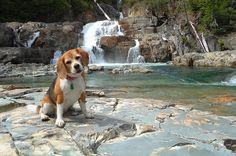 Angie the beagle at Myra Falls in Strathcona Provincial Park, Vancouver Island, BC Beagle Breeds, Park Lodge, Outdoor Education, Its A Wonderful Life, Vancouver Island, Animal Kingdom, Pup, Beagles, Adventure