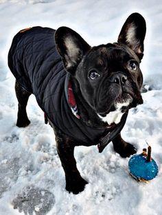 Bela-Gaja Zielona Góra french bulldog