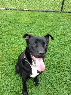 **AVAILABLE FOR ADOPTION!!!** Astro is a handsome Black Lab mix who is only about a year old. He is your typical lab puppy who has a bunch of energy and is looking to play! He would do best as an only pet and without young children.