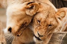 En Zimbabwe no lloran los leones que llora el resto del mundo