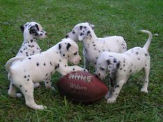 Image detail for -Dalmatian Puppies | Pet Lovers World