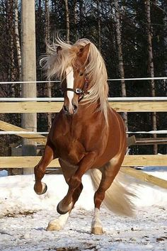 ➗Gorgeous Finnhorse Stallion