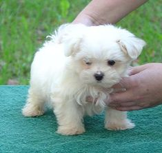 Melting my heart! I ♥ my Maltese.. this little one is precious!