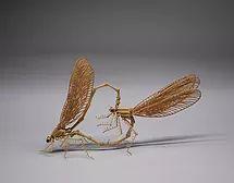 Broad-winged damselfly (Calopteryx cornelia)