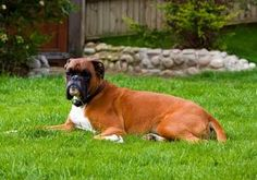 Boxer Puppies Are Muscular And Strong Dog Breeds And Are Extremely Intelligent & Adorable. Check On The Size, Temperament, Training, Price And More. Boxer Dogs Facts, Boxer Dog Breed, Boxer Puppies, Dog Facts, Dogs And Puppies, Doggies, Pet Dogs, Rottweiler, Best Dogs For Kids