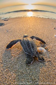 Baby sea turtle sunrise photo by TheLivingSea.com, via Flickr