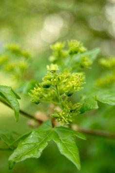 Acer campestre (Feldahorn)