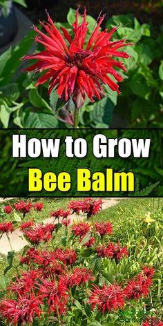 Balcony garden 394698354844295625 - How to Grow Bee Balm – Easy Balcony Gardening Source by Gardening For Beginners, Gardening Tips, Balcony Gardening, Container Gardening, Indoor Gardening, Gardening Gloves, Flower Gardening, Planting Flowers, Companion Planting