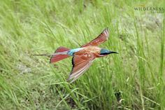 Little Vumbura - The birding around Little Vumbura Camp is as varied as it is exceptional all year round. #Safari #Africa #Botswana #WildernessSafaris