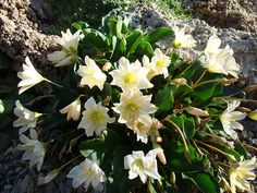 Cistanthe tweedyi (Tweetys pussypaws) Pool Plants, Tropical Plants, View Image, Cool Photos